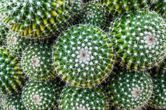 Closeup topview of golden barrel cactus cluster. Selective focus closeup top-view shot on Golden barrel cactus Echinocactus grusonii cluster. a well known royalty free stock images