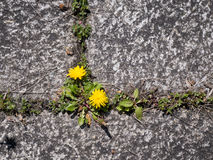 Closeup and topview of weed sprouting through flagging. Photo shows a topview of dandelion sprouting between flagging pavement, patio or courtyard Royalty Free Stock Images