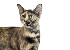 Closeup Tortie Young Kitty Over White Royalty Free Stock Photos