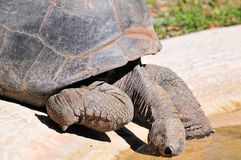 Closeup of tortoise drinking in pool of water Stock Image