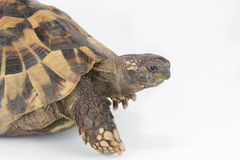Closeup tortoise head isolated Stock Images