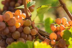 Traminer ripens in the sun royalty free stock photo