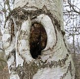 Closeup of a tree in a birch Royalty Free Stock Photos