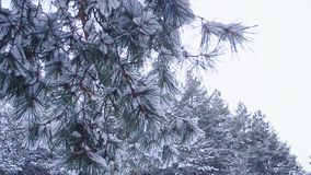 Closeup tree branches in snow swaying in the wind, against sky and winter forest. Closeup tree branches in snow swaying in wind, against sky and winter forest stock video footage