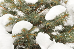 Closeup tree branches under snow. Snow fir tree branches Royalty Free Stock Photos