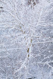 Closeup tree covered with snow as nature background. Winter season. Royalty Free Stock Image