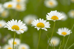 Closeup of tree daisies, chamomile medicative flowers on green b. Tree daisies on green background Royalty Free Stock Photos