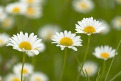 Closeup of tree daisies, chamomile medicative flowers on green b Royalty Free Stock Photos