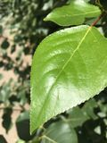 Closeup of tree leaf Royalty Free Stock Image