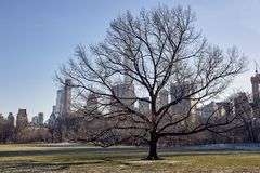 Closeup of tree without leaves in Central Park, New York stock photography