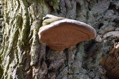 Closeup of a tree mushroom on a tree trunk in a park in Kassel, Germany. Can be used as a background Stock Image