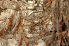 Closeup of Tree Roots Covering Wall Stock Photo