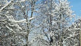 Closeup tree tops covered with white snow. Closeup tree tops covered with white fluffy snow against blue sky stock footage