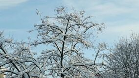 Closeup tree tops covered with white snow. Closeup tree tops covered with white fluffy snow against blue sky stock video footage