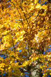 Closeup of tree with yellow autumn colors Stock Images