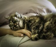Cat sleeping on a woman`s hand. Closeup of a tricolor-persian cat sleeping on a woman`s hand Royalty Free Stock Photos