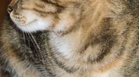 Closeup of tricolor striped cat, colored feline, pet background. Closeup of tricolor striped cat, multicolor feline, white, black, yellow, orange and brown royalty free stock photos