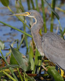 Closeup of a Tricolored Heron in a Florida Wetland Royalty Free Stock Photos