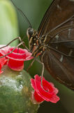 Closeup of a tropical butterfly Royalty Free Stock Photography