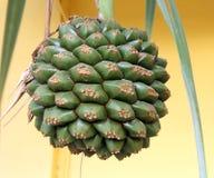 Closeup of a Tropical Cactus. Bulb plant stock photo