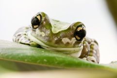 Closeup of a tropical green frog Royalty Free Stock Photos