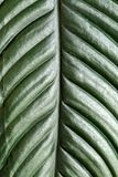 Closeup of a tropical plant leaf, green texture and pattern detail ,  abstract vertical background. Stock Image