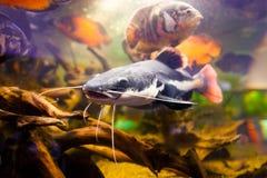Closeup of a tropical redtail catfish, Phractocephalus hemioliopterus. Royalty Free Stock Image