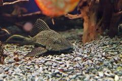 Closeup  of a tropical redtail catfish, swimming in an aquarium. Stock Photos