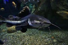 Closeup  of a tropical redtail catfish Stock Images