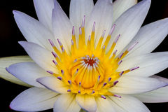 Closeup of a Tropical White Water Lily Flower (Nymphaeaceae) Royalty Free Stock Images