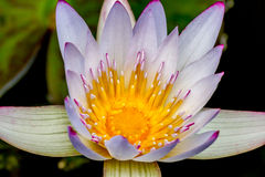 Closeup of a Tropical White Water Lily Flower (Nymphaeaceae) Stock Images