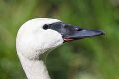 Closeup of a trumpeter swan cygnet royalty free stock photography