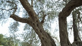 Closeup of the trunk of an old oak tree. Nature summer stock video footage