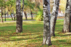 Closeup of trunks of birch trees in park Stock Images