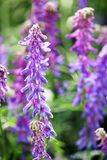 Closeup of the Tufted Vetch flower weed Stock Photos