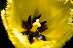 Closeup tulip Royalty Free Stock Image