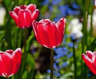 Closeup of Tulip Flower at Blossom Stock Photography
