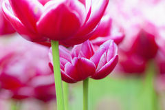 Closeup of Tulip Flower at Blossom Royalty Free Stock Images