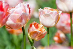 Closeup of Tulip Flower at Blossom Royalty Free Stock Image