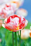 Closeup of Tulip Flower at Blossom Royalty Free Stock Photography