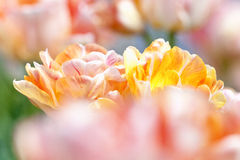 Closeup of Tulip Flower at Blossom Royalty Free Stock Photos