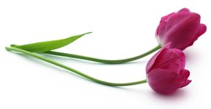 Closeup of Tulip. Flower over white background Stock Photos