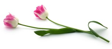 Closeup of Tulip. Flower over white background Royalty Free Stock Photo