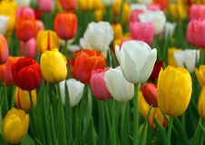Tulips bloomed outdoor. Closeup of Tulip flowers bloomed outdoor Stock Photography