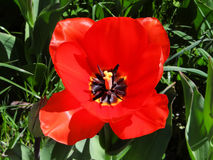 Closeup of a Tulip on the Island of Mainau in Konstanz, Germany Stock Photos