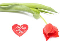 Closeup of tulip with red heart on white background Stock Image