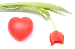 Closeup of tulip with red heart on white background Stock Photography