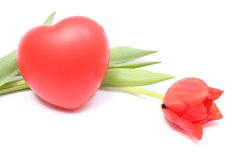 Closeup of tulip with red heart on white background Stock Photos