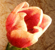 Closeup tulip textured background Royalty Free Stock Photos