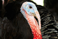 Closeup Turkey cock Royalty Free Stock Photo
